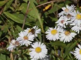 une abeille en butinage en octobre 2011