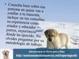 Adiestramiento de Perros Labrador : Adiestramiento Canino