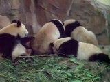 Troll panda réveille son ami
