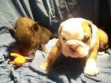 hermes bulldog anglais 1 mois