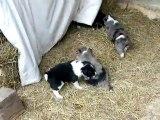 chiots border collie 1 mois