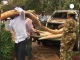 Saisies record d'ivoire : les éléphants en danger