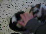 Chiots de Capuche 2 mois