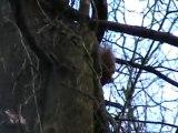 ecureuil roux en foret
