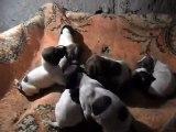 Ferma Kurzhaar Kennel 22.12.2012 Doğumlu Satılık Kurzhaar Yavrular