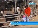 Des lamas au service de Tsahal... Lama lo !