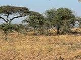 tanzanie-serengeti-safari-buffles