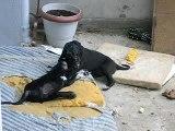 chiot dogue allemand 04/09/06
