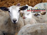 Nouveau virus dans les élevages en Moselle et Meurthe-et-Moselle : les autorités veulent rassurer