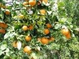 Carlsbad Citrus and Fruit Trees / 760-842-1799 / Avocado Trees Carlsbad