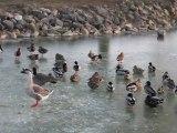 Breuil-le-Sec : les canards ne peuvent plus barboter dans l'étang gelé