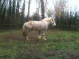 debourrage longe cheval trait boulonnais 2.5ans vahinée