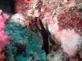 murène ruban aux Maldives