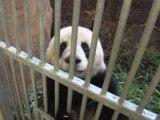 Les pandas, un trésor symbolique des espèces menacées