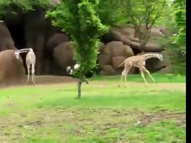 An ostrich and baby giraffe play tag