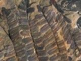 Le site chinois de Wuda dévoile ses clichés de fossiles végétaux