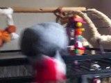 YUMA Perroquet gris du Gabon