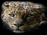 Les félins(lions tigres léopards etc)