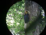 Wreathed Hornbill of Khao Yai NP, By Mr.Isara Local guide Thailand