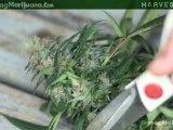 Harvesting - Harvesting Marijuana - When To Harvest Weed Marijuana Growing - 6
