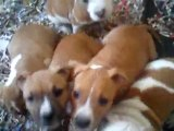 Chiots amstaff 2 mois