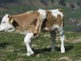 Une vache à 6 pattes en Suisse