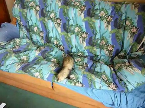 Furet et furette jouent à cache cache sur le canapé