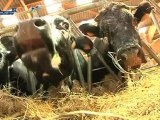 La vache vosgienne, star du moment!