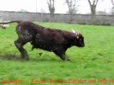 Mise en herbe 2012 des vaches Salers à l'élevage VINCENT PESCHER EARL en Livradois