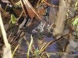 Reproduction des grenouilles rousses