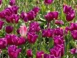 Le printemps des tulipes 2012