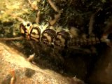 Perles et non-perles  カワゲラの幼虫は生きて