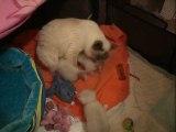vidéo de chatons Sacré de Birmanie de 20 jours