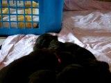 chiots Funny élevage de VALOYAN TERRE NEUVE MARRON BRONZE 28/04/2012