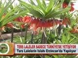 TERS LALELER SADECE TÜRKİYE'DE YETİŞİYOR 03 05 2012