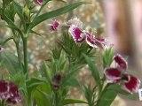 Déco Brico Jardinage : Entretien des fleurs : les oeillets