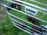 chiots Funny élevage de VALOYAN TERRE NEUVE MARRON BRONZE 10/05/2012