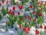 Concerto pour tulipes