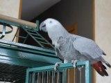 cachou gris du gabon perroquet 7 mois
