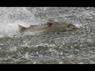 Saumon atlantique : Tentative de franchissement d'un barrage