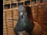 Les animaux dans la guerre - les Pigeons