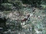 Mouflons - Caméra de surveillance Spypoint IR-5 - Piège photographique
