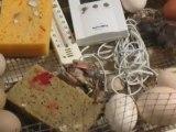 un petit faisan qui a du mal à sortir de l'oeufmaison de la chasse juin 2012 063