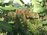 En Amazonie, comment produire tout en préservant la forêt
