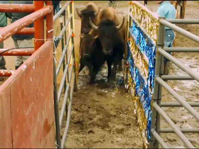 Roller Buffalo