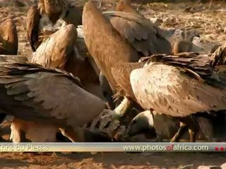 Vultures at carcass HD - South Africa Travel Channel 24 - Wildlife