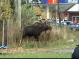Bull Moose on Discovery Channel shot in Moncton New Brunswick, Canada