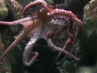 Le biologiste de l'Aquarium de Paris présente Pierre le Poulpe