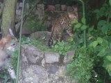 Halie découvrait tranquillement le jardin, quand surgit...........une louve^^