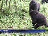 Les gorilles des montagnes toujours menacés par l'homme